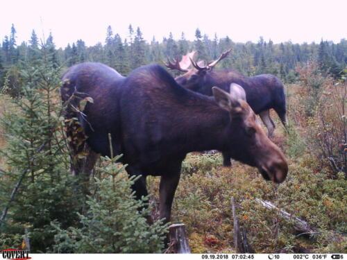 Camachigama-Moose20