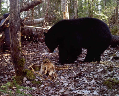 quebecdbear_hunting18