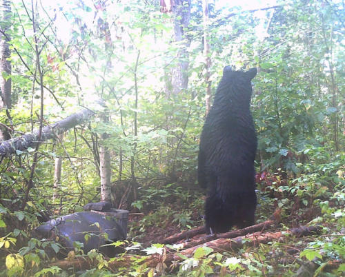 quebecdbear_hunting19